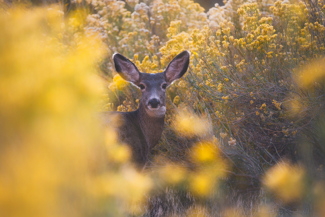 cerf, zion, national park, deer, flowers, fall, autumn